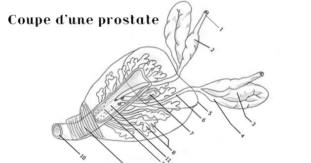 La vitamine E incriminée dans l'augmentation du cancer de la prostate, selon l'étude SELECT.